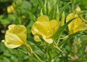 flor-de-onagra